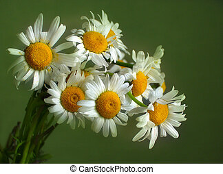 Camomiles - Illustration of a bouquet of camomiles