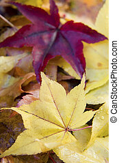 Momiji leaves - Red and yellow fallen Japnese maple leaves