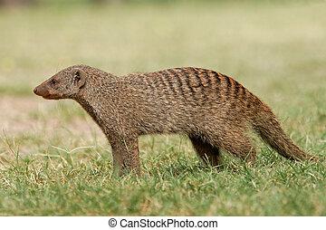 Banded mongoose (Mungos mungo), Etosha National Park,...