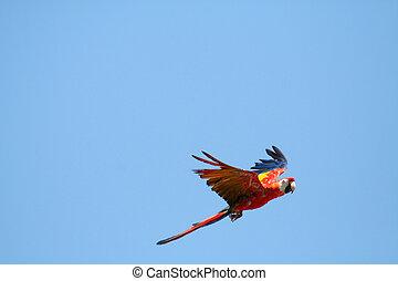 Scarlet Macaw in flight - Scarlet Macaw parrot in flight,Ara...