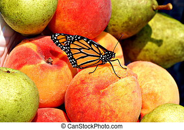 The visitor - Monarch butterfly lands on peaches & pears