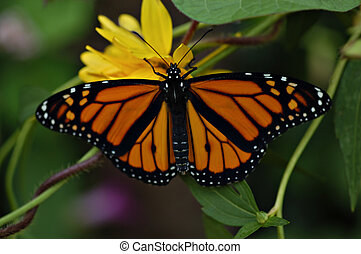 Monarch butterfly rests on yellow flower, wings fully open