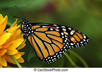 Monarch butterfly on yellow flower~side view