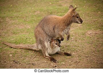 Kangaroo with baby - Kangaroo-Mother with baby in a zoo