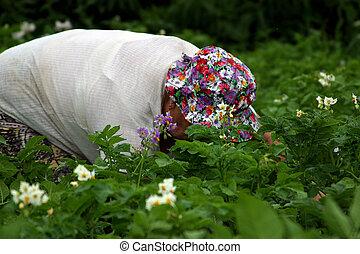 Kitchen garden - The elderly woman in a kitchen garden