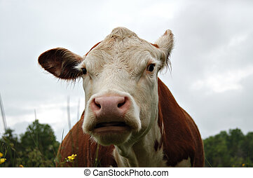 Humorous cow II - Close up look at a funny herford cow