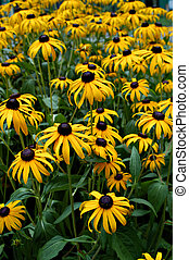 Black eyed susans II - Large group of black eyed susans