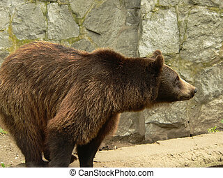 Brown bear side view - Brown bear waiting and looking for...