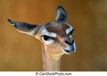 Gerenuk looking straight,  Litocranius walleri