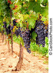 Grape vines - Rows of vines with red grapes