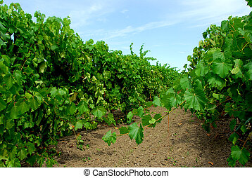 Vineyard with green vines