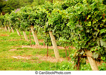 Vineyard - Rows of green vines