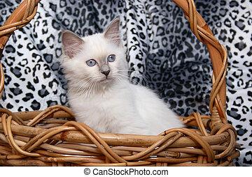Kitten - Birman kitten