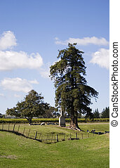 Macrocarpa Tree - A Macrocarpa tree and chimney in the...