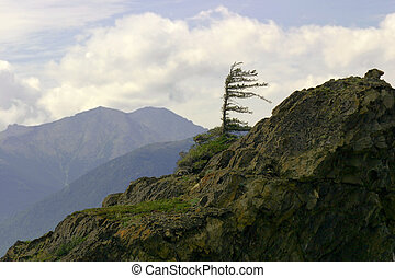 Lone Tree - Lone Sitka spruce defies the elements on an...