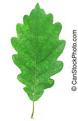 green oak leaf on wh