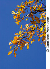 Leaves of an oak - Colourful oak branch on a background of...