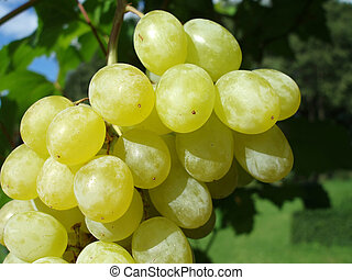 green grapes - Close-up of an bunch of green grapes with...