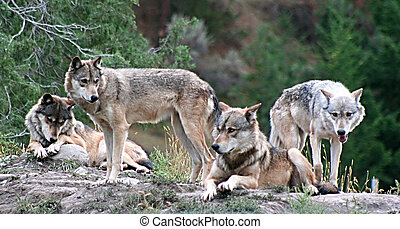 Timber Wolves - a wolf pack