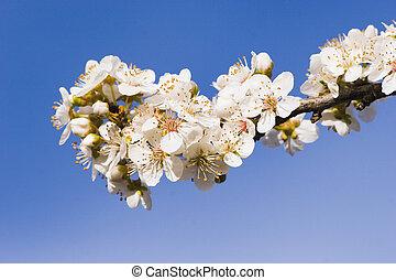 Spring Blossom 01 - Spring Blossom on a Plum Tree, Haumoana,...