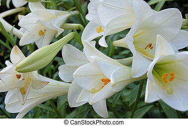 Group of Lillies - Close up of lily flower and buds