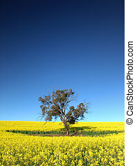 Canola Tree - Gum Tree in Canola Field