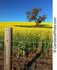 Canola Field and Fence