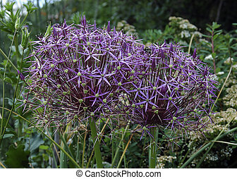 Allium - purple allium in the garden