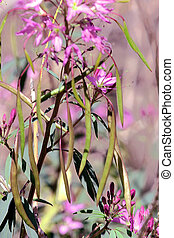 Fireweed - Purple fireweed with shallow depth of field...