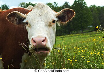 Say what - Close up of a herford cow looking into camera...