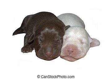 Newborn Lab pups