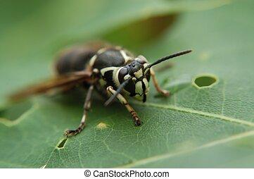 White faced hornet - A white faced hornet macro