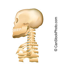Skull and Cervical SpineSkull and Cervical Spine - Skull...