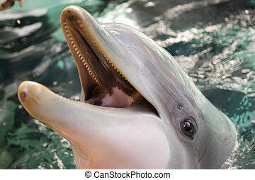 Dolphin - Bottle nosed porpoise