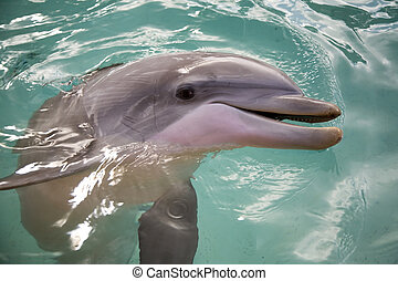 Dolphin - Bottle nosed porpoise