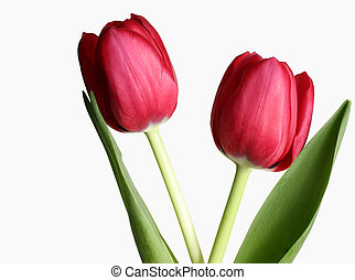 Two Tulips - Two tulips against white