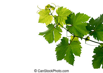 Grape vine - Branch of grape vine on white background