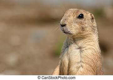 Lookin\\\' out - a Prairie Dog looking around