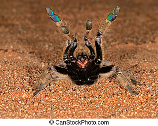 African baboon spider - Aggressive African baboon spider in...