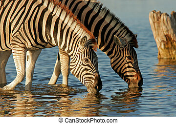 Drinking Zebras - Two Plains Zebras drinking water, Etosha...