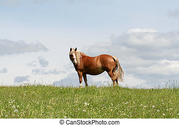 Horse - A work horse in a meadow