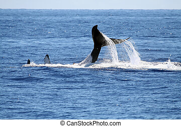 Whale playing on its back - Whale playing on its back, with...