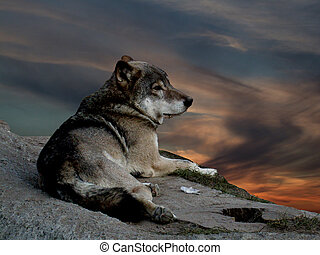 Wolf - The wolf lying on stone, on background of the sundown...
