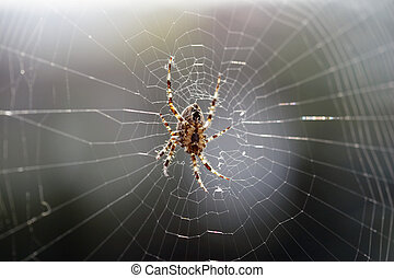 big brown spider in cobweb 01 - big brown spider in cobweb -...