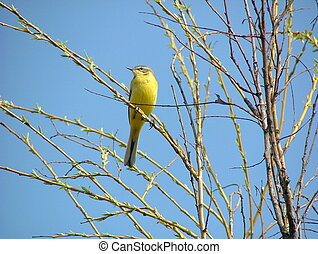 Yellow Wagtail - Yellow wagtail in spring