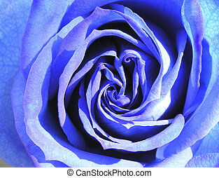 blue rose 1 - heart of blue rose