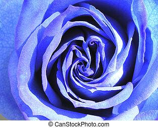 blue rose 1 - heart of blue rose