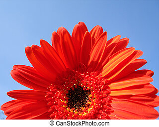 Big red flowers blossom in a skyey background - Half of a...