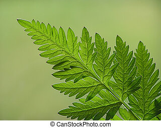 green fern leaf - Close-up of green fern leaf on green...