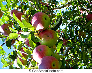 Cluster of ripe apples on the tree - A bunch of large red...